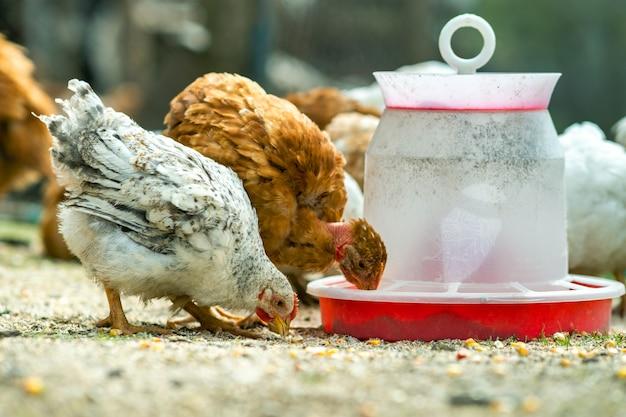 Hühner ernähren sich vom traditionellen ländlichen scheunenhof