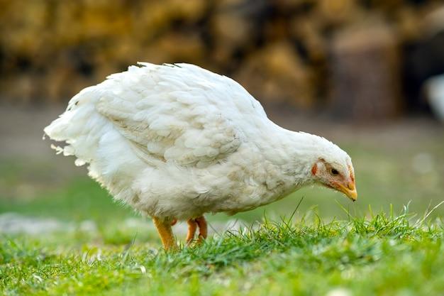 Hühner ernähren sich von traditionellen ländlichen scheunenhof. schließen sie oben von huhn, das auf scheunenhof mit grünem gras steht
