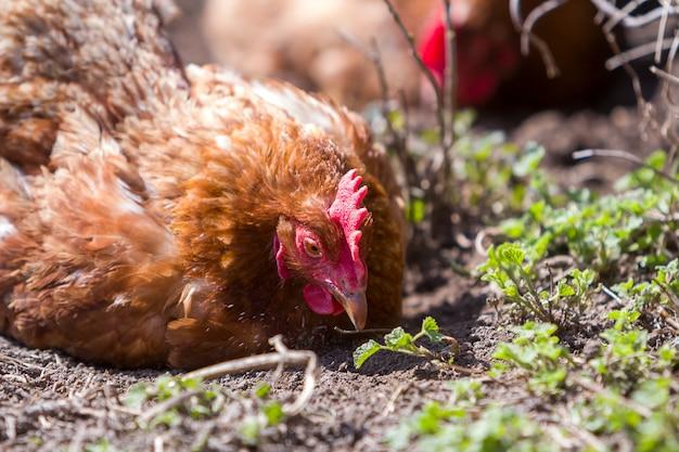 Hühner füttern im freien auf grüner wiese