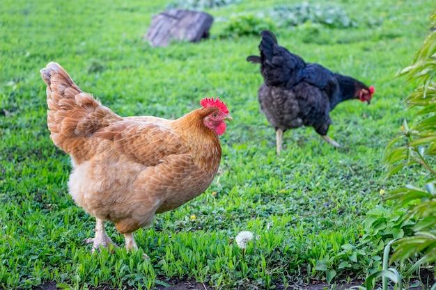 Hühner gehen durch das gras im garten der farm