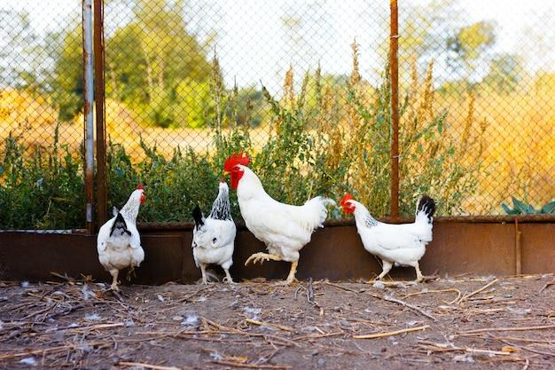 Hühner gehen um den hof, scheunenhof auf einem bauernhof für die geflügelzucht