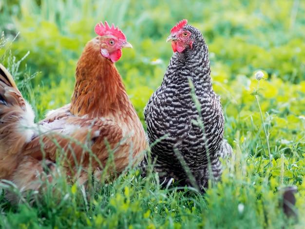 Hühner in einem garten auf einer farm im sommer auf einem hellen grünen hintergrund