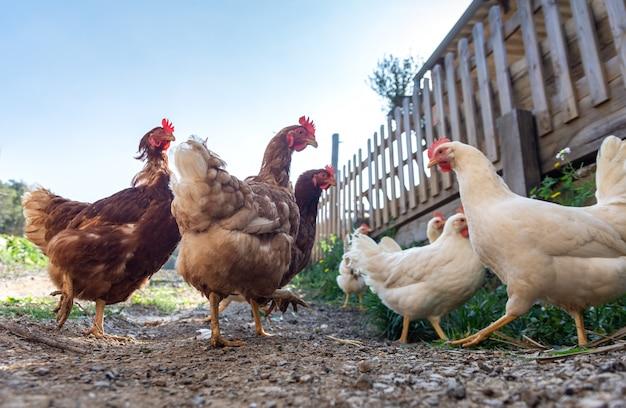 Hühner in freiheit aufgezogen und mit bio-lebensmitteln gefüttert