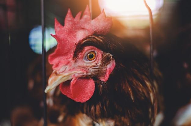 Hühner in viehhaltung