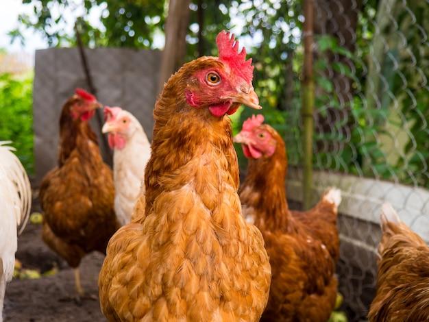 Hühner laufen an einem sommertag im hühnerstall herum