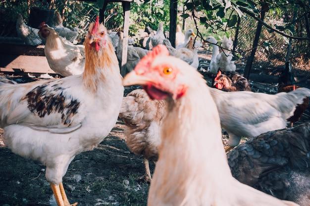 Hühner mit einem klugen blick