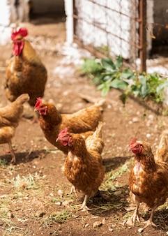 Hühner scharen sich in einem hohen winkel