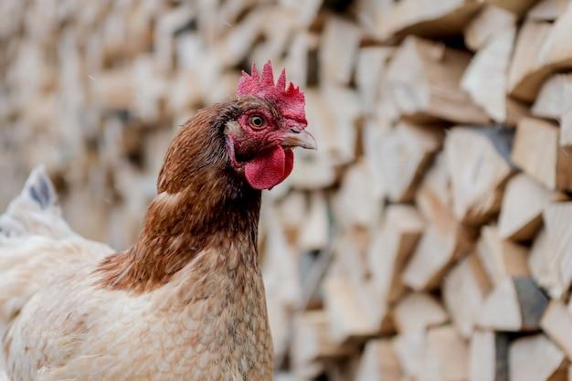 Hühner und hähne, die zwischen brennholz streifen. henne und hahn roaming
