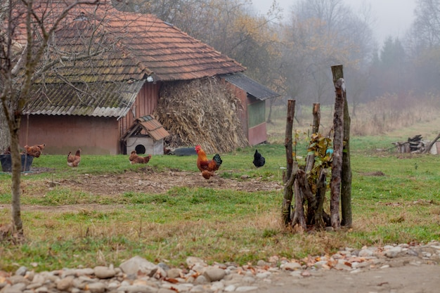Hühner und hähne grasen auf einer wiese in der nähe des dorfhauses