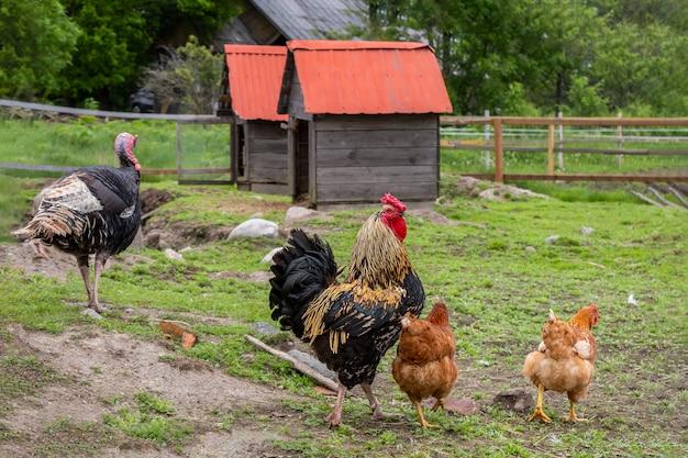 Hühner und truthahn grasen im hof auf grünem gras