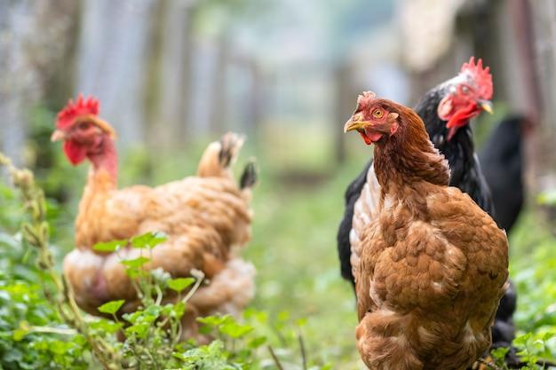 Hühnerfütterung auf traditionellen ländlichen scheunen. hühner auf scheunenhof in öko-bauernhof. konzept der freilandhaltung von geflügel.