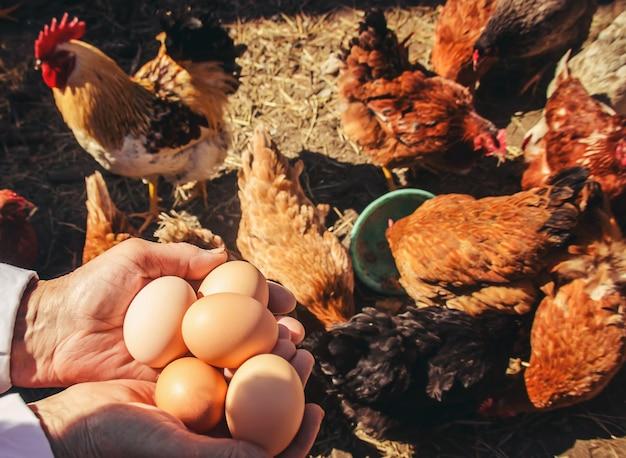 Hühnerinländische eier in den händen. tiefenschärfe.