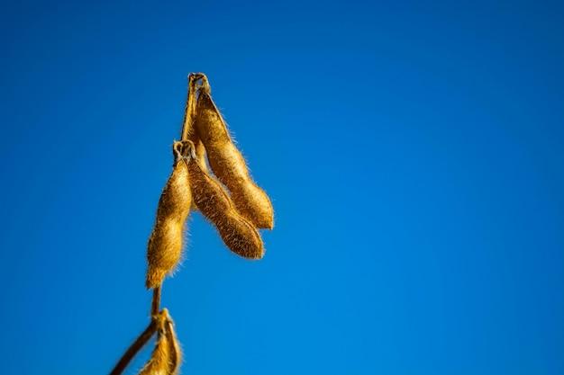 Hülsen von sojabohnen auf einem gebiet