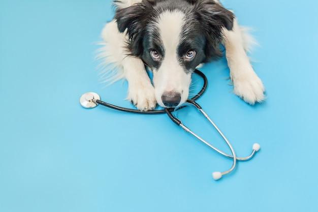 Hündchen border collie und stethoskop lokalisiert auf blauem hintergrund. kleiner hund bei empfang am tierarzt in der tierklinik. haustiergesundheitswesen und tierkonzept