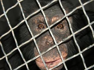 Huey der schimpanse