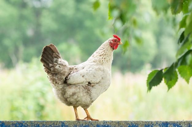 Huhn auf dem zaun