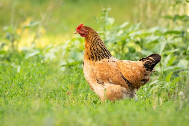 Huhn auf gras