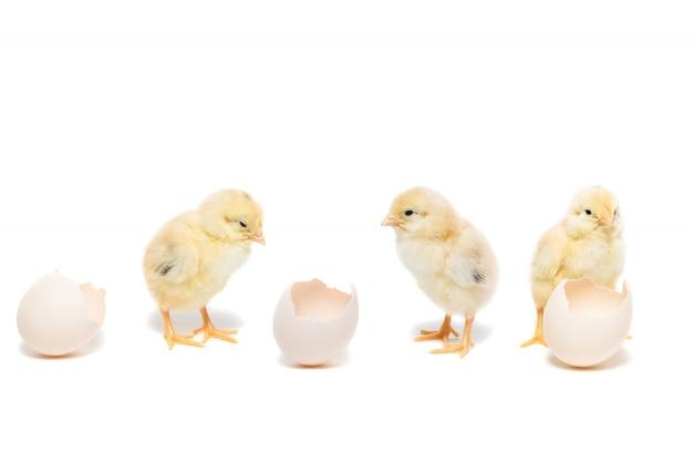 Huhn auf weißem hintergrund