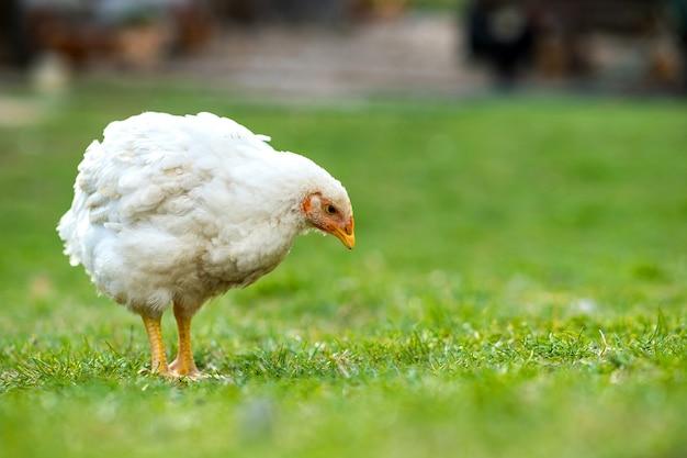 Huhn, das auf scheunenhof mit grünem gras steht