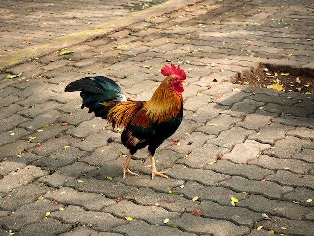 Huhn, das im hinterhof lebt