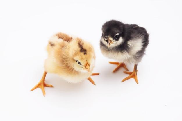 Huhn isoliert auf weiß