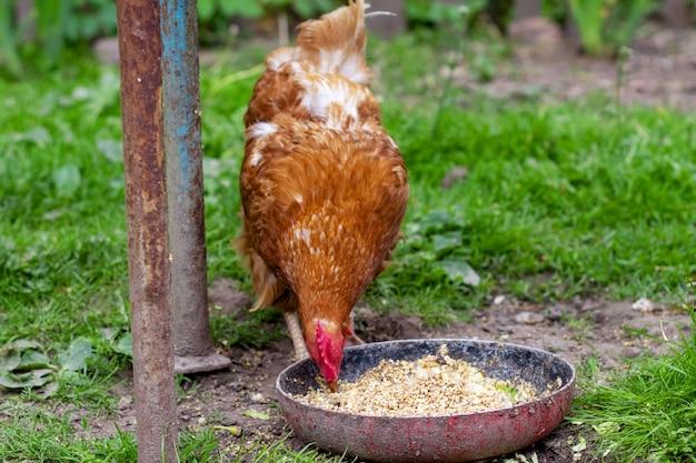 Huhn isst hafer aus einer schüssel huhn im dorf hafer in einer schüssel