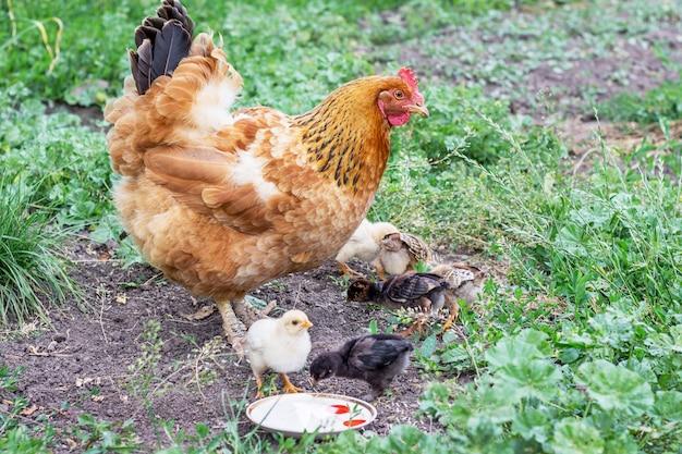 Huhn mit kleinen hühnern im garten auf der suche nach nahrung