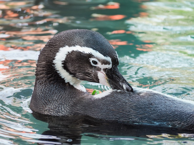 Humboldt-pinguin, der im wasser schwimmt.