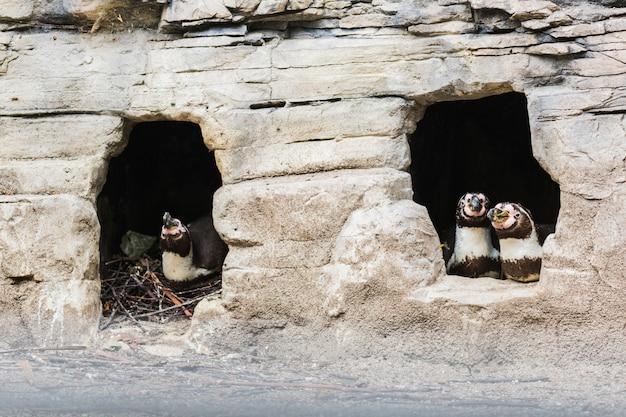 Humboldt-pinguin (spheniscus humboldti), auch peruanischer pinguin oder patranca genannt, auf den felsen einer klippe.