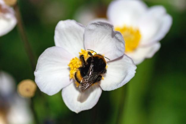 Hummel auf weißer anemonenblüte in voller sonne