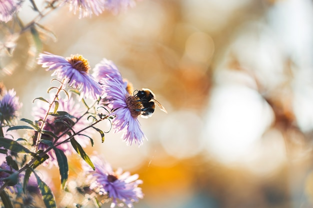 Hummel, die nektar mit hellpurpurnen herbstblumen sammelt
