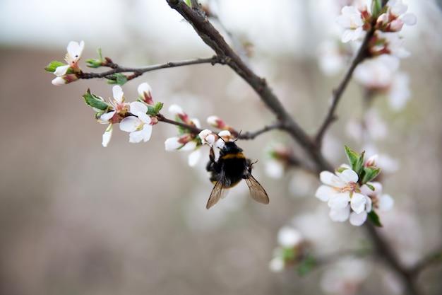 Hummel, die nektar von den blumen auf frühlingsbaum sammelt