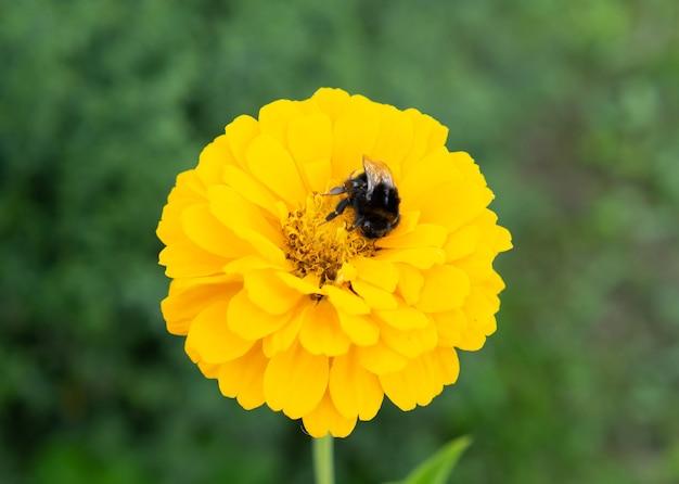 Hummel sammelt pollen von einer schönen gelben blume