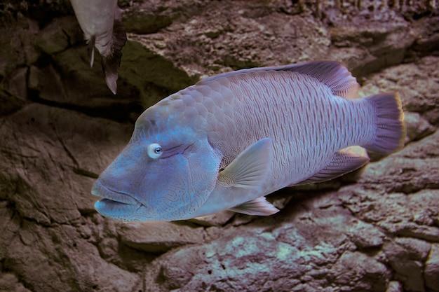 Humphead wrasse ist eine art, die häufig in öffentlichen aquarienanlagen ausgestellt wird und für den ökotourismus in von tauchern frequentierten gebieten von bedeutung ist.