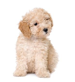 Hund: aprikosenspielzeug pudelwelpe