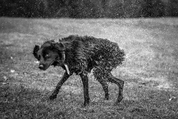 Hund auf dem gras, das wasser abschüttelt.