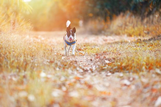 Hund außerhalb der laufenden gelben rasenfläche bei sonnenuntergang im herbstbaumwald am parkhintergrund - spaziergänge des schoßhundes im freien im gartensommer