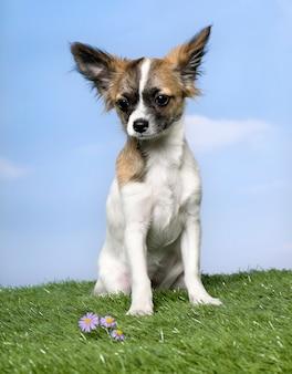 Hund: chihuahua-welpe, sitzend auf gras gegen blauen himmel