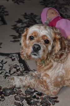 Hund cocker spaniel liegt auf teppich