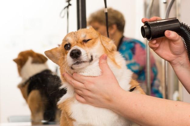 Hund corgi trocknen haustier pflege konzept