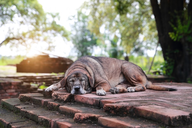Hund, der auf boden im alten tempel liegt