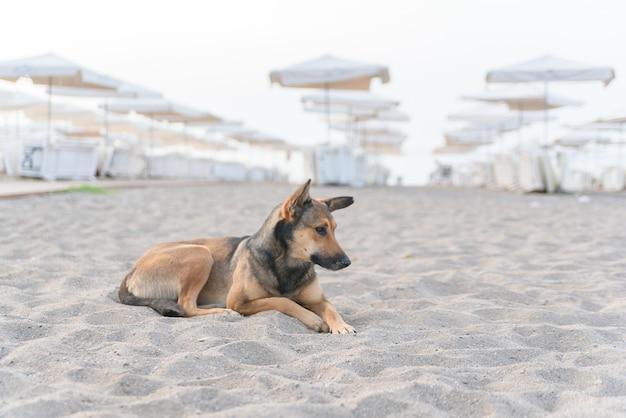 Hund, der auf tropischem sandstrand nahe dem blau entspannt