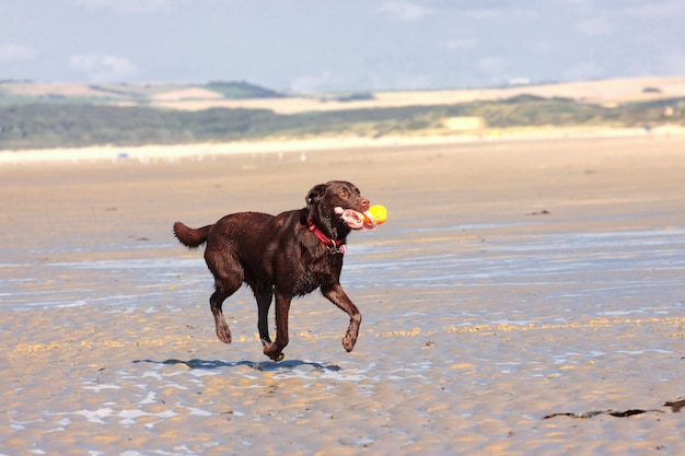 Hund, der ball auf dem strand im sommer spielt