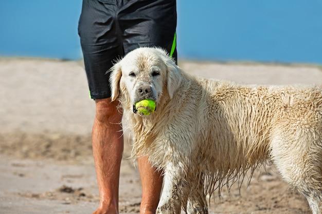 Hund, der den tennisball im strand fängt, der neben den beinen seines herrn wartet