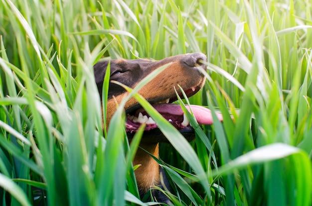 Hund, der draußen im gras mit großem lächeln auf seinem gesicht spielt