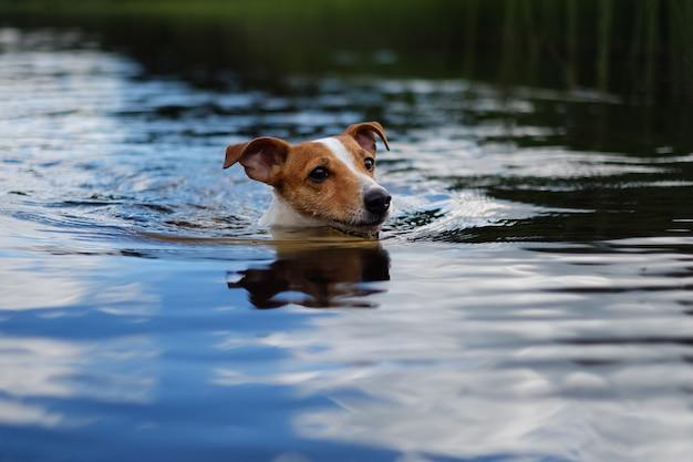 Hund, der im see schwimmt, niedlicher jack russell terrier