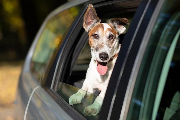 Hund, der kopf aus dem autofenster heraus haftet