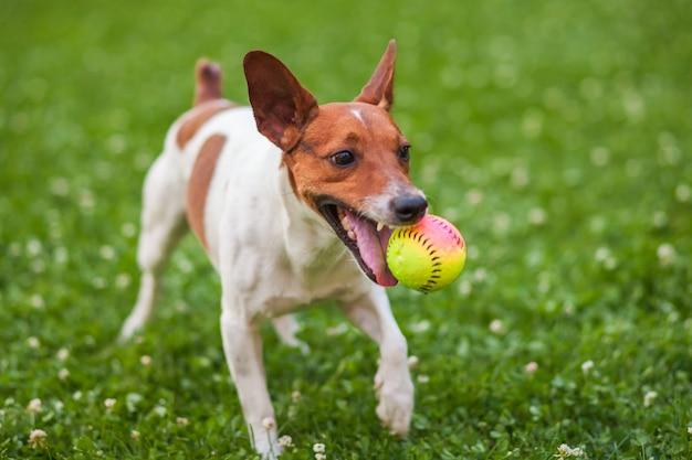 Hund, der mit einem ball auf dem gras im park spielt