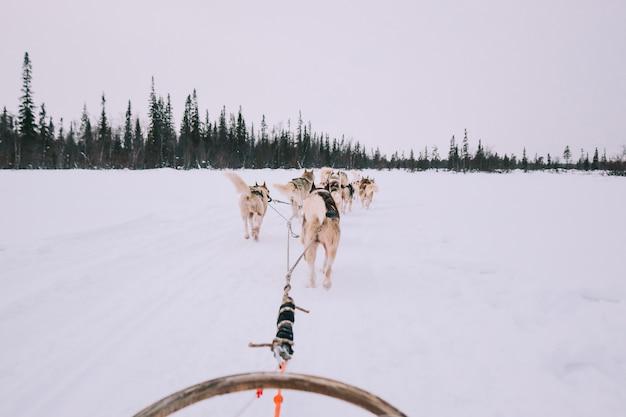 Hund, der mit schlittenhunden in russland rodelt