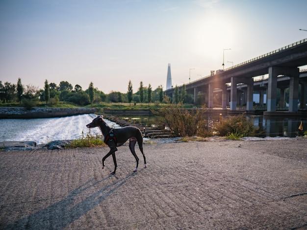 Hund, der nahe fluss, morgenhintergrund geht
